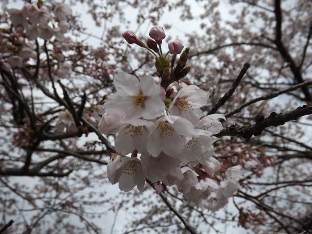 秋田市の桜が咲きました_f0019498_14474178.jpg