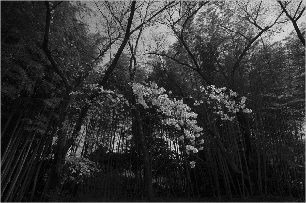 満開の桜の木の下で II #LEICA M Monochrom_c0065410_22132266.jpg