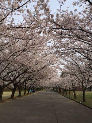 桜_c0239414_1654303.jpg