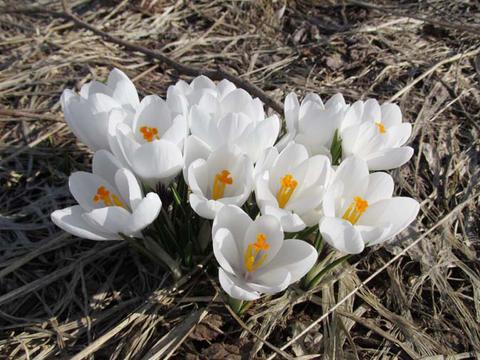 クロッカス咲いています。_d0072917_1936535.png