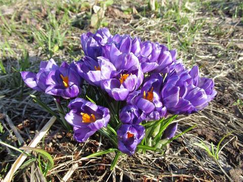 クロッカス咲いています。_d0072917_19371488.png