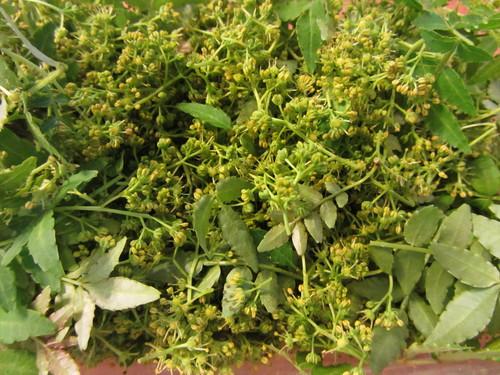 花山椒の収穫_a0173527_232188.jpg