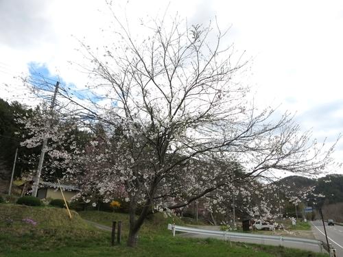 岩泉町の桜、満開?です。_b0206037_18325036.jpg