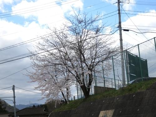 岩泉町の桜、満開?です。_b0206037_18325050.jpg