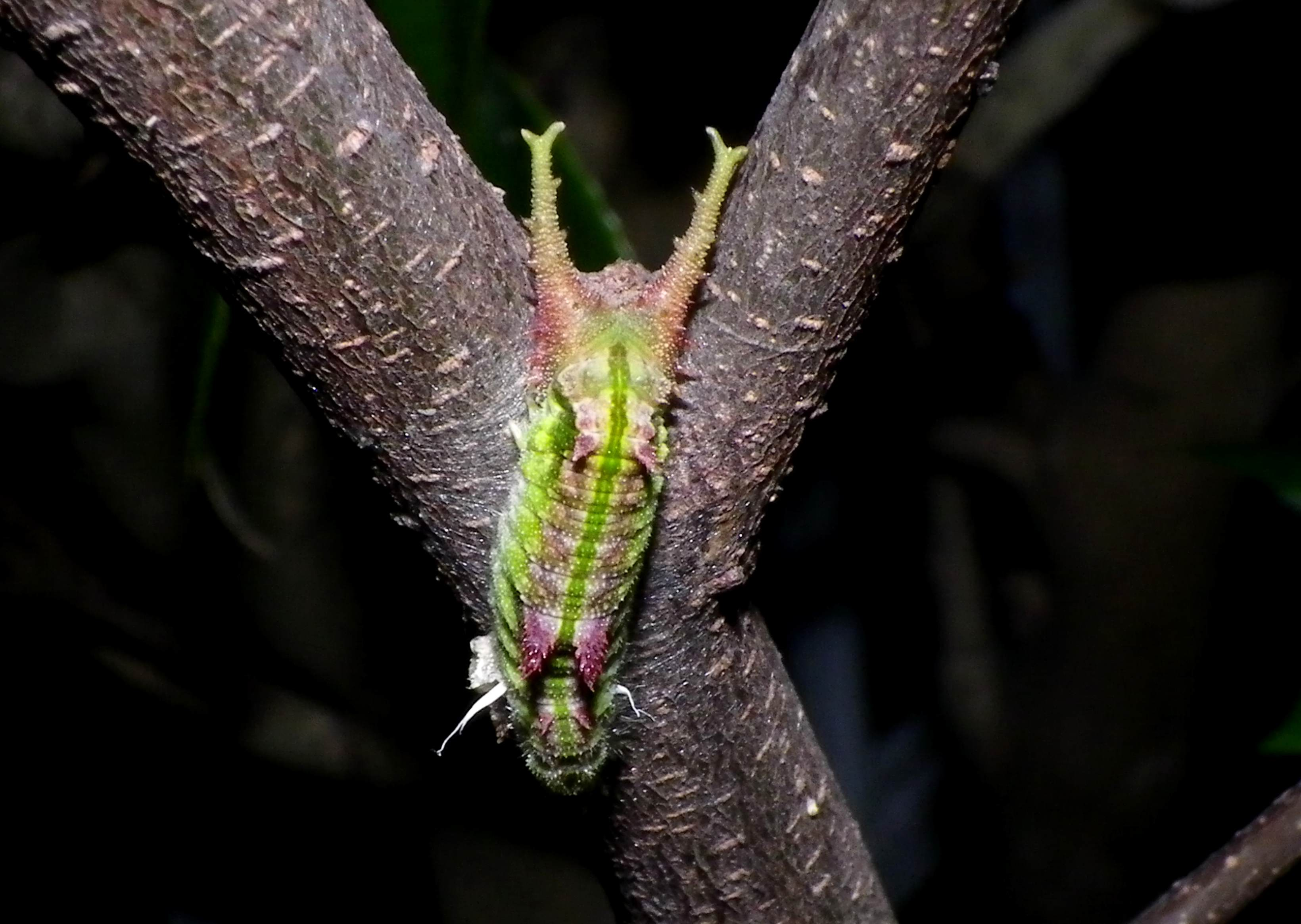 ゴマダラチョウの幼虫 変身!_d0254540_18475861.jpg