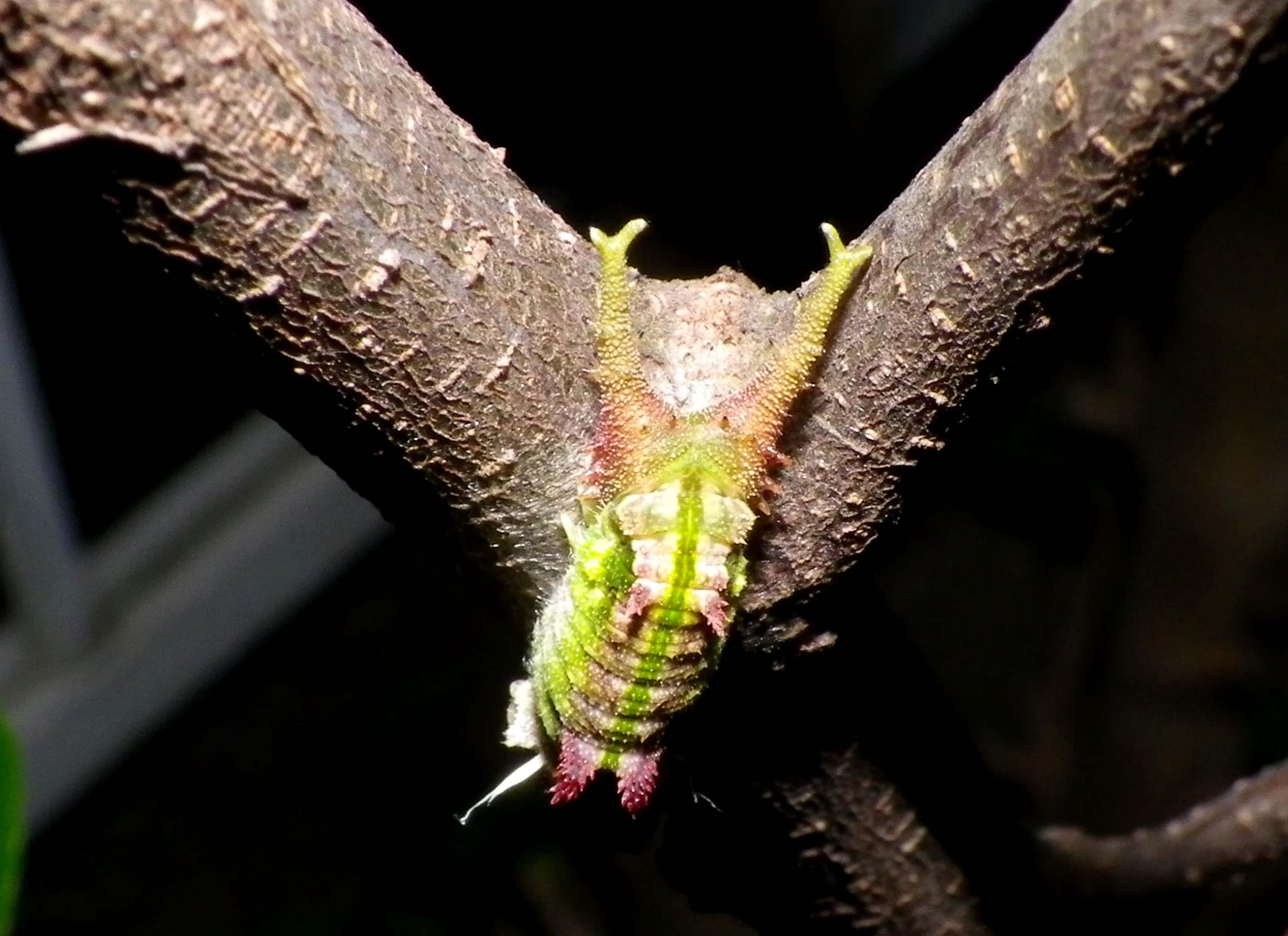 ゴマダラチョウの幼虫 変身!_d0254540_18481230.jpg