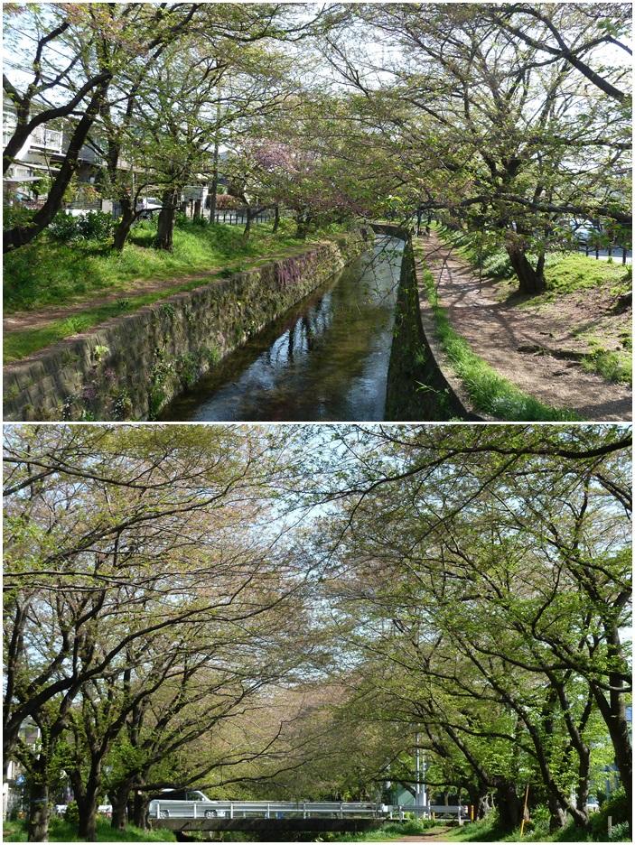 引地川はサクラ色から新緑に☆_c0152341_13134877.jpg