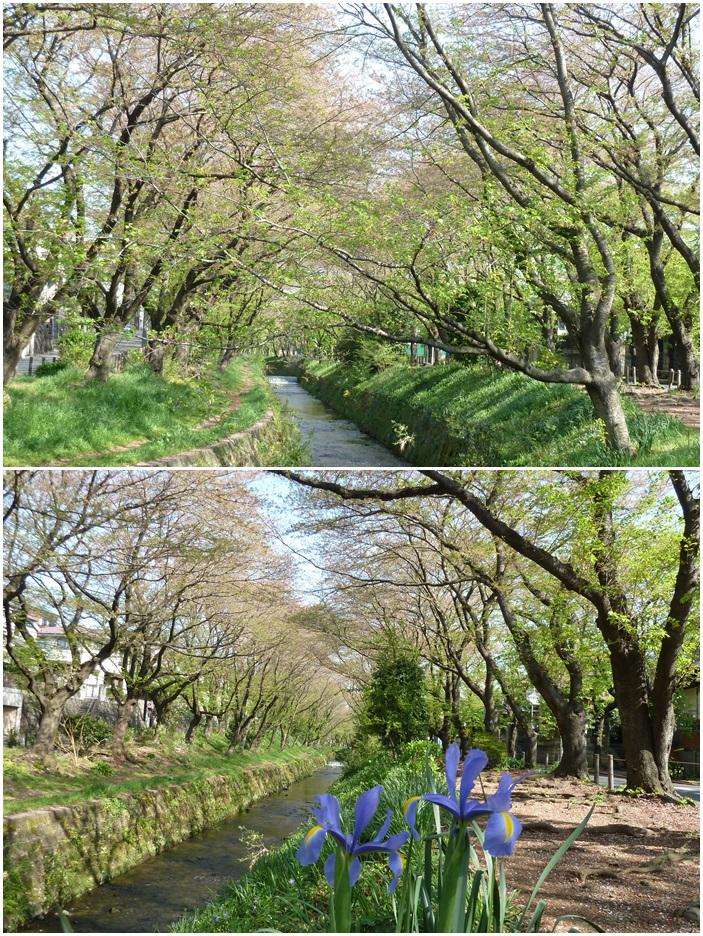 引地川はサクラ色から新緑に☆_c0152341_13141265.jpg