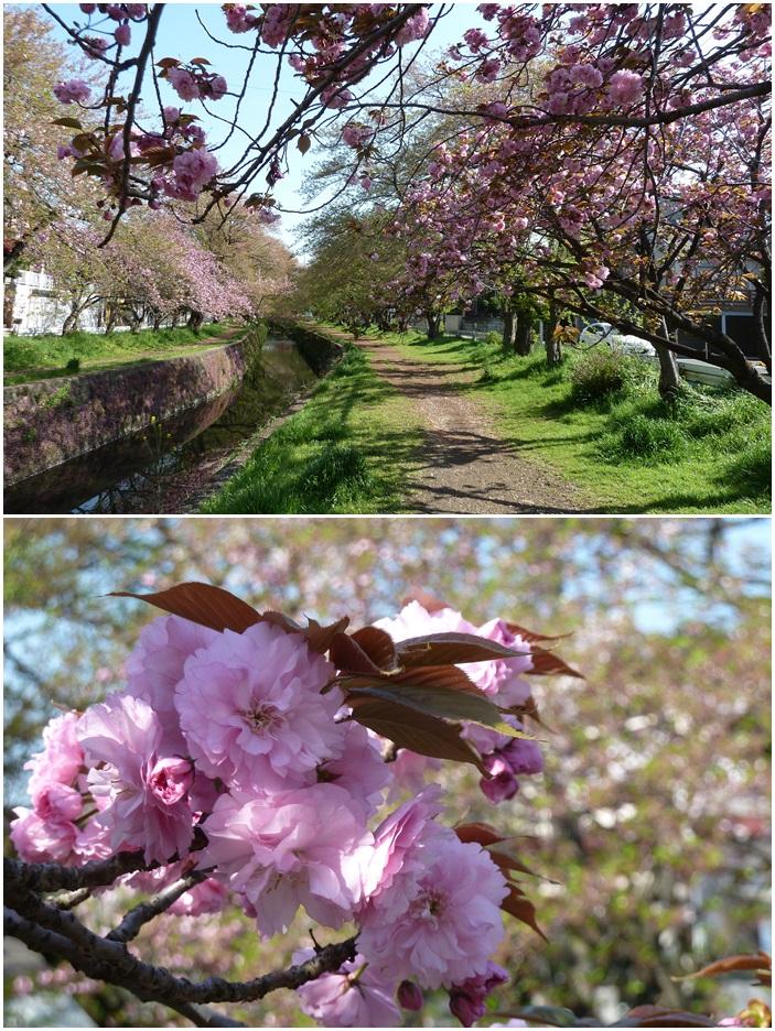 引地川はサクラ色から新緑に☆_c0152341_1373382.jpg
