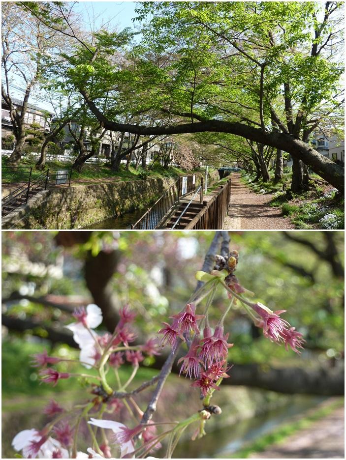 引地川はサクラ色から新緑に☆_c0152341_1391871.jpg