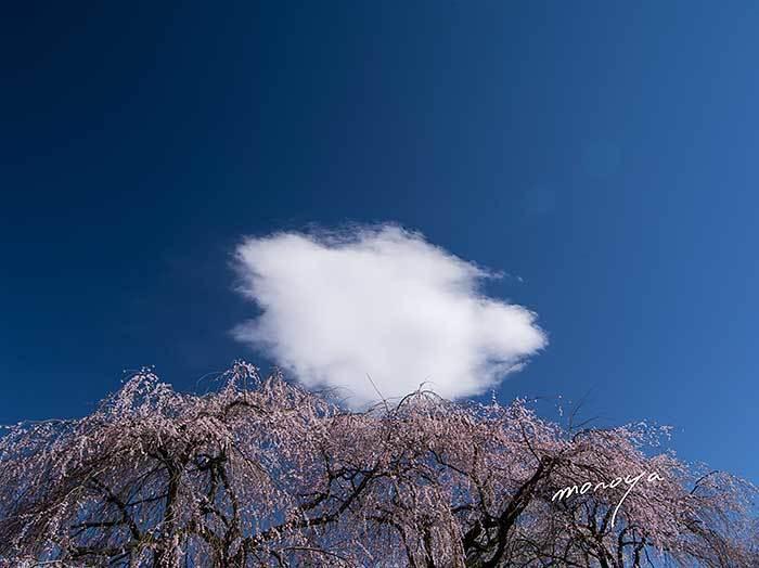 信州安養寺の桜_c0085877_06032555.jpg