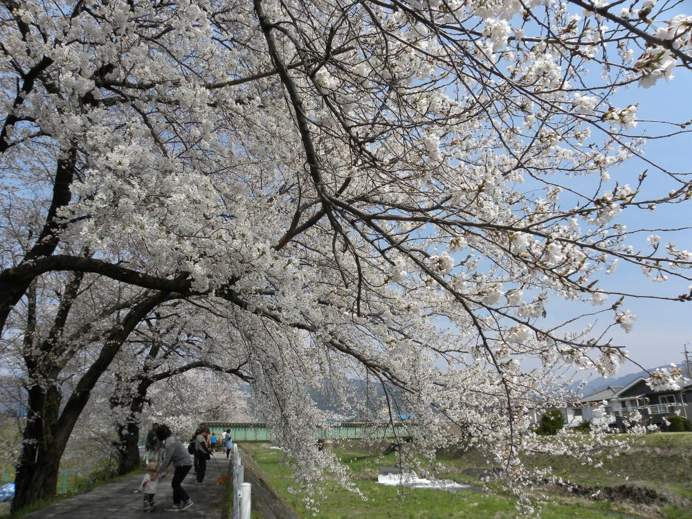 桜並木の物語_b0329588_11033772.jpg
