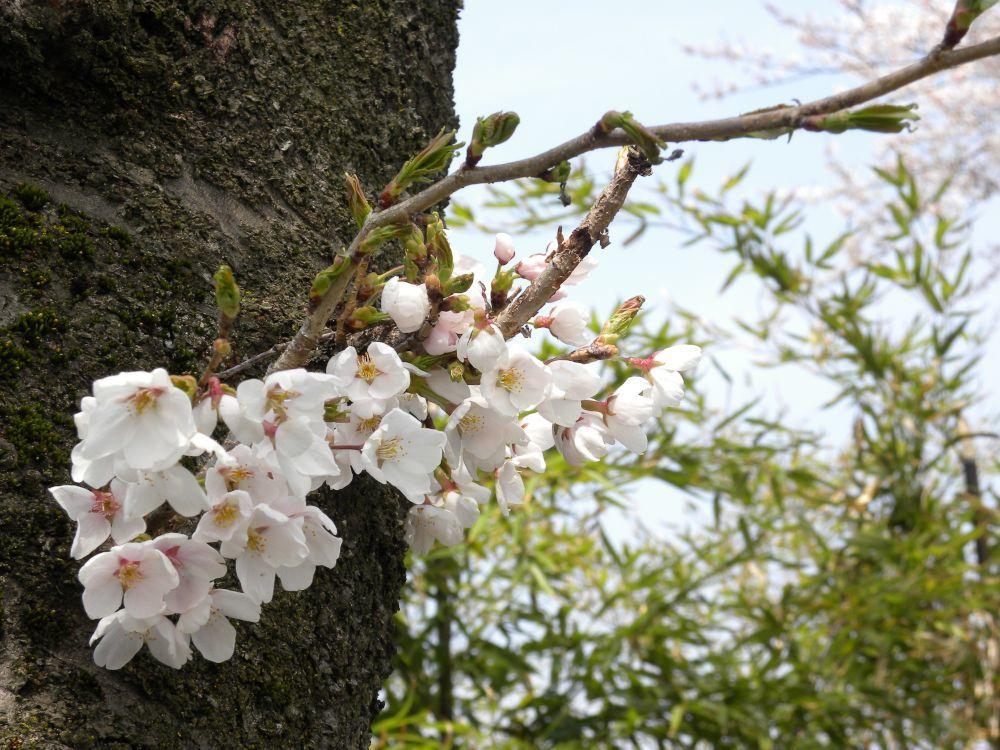 桜並木の物語_b0329588_11034469.jpg