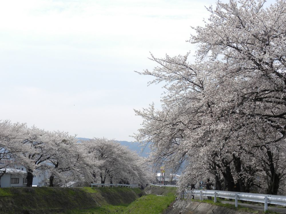 桜並木の物語_b0329588_11035659.jpg