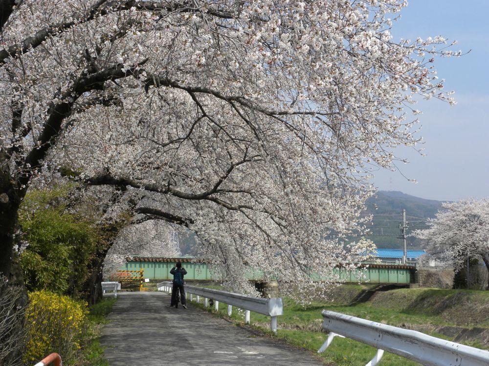 桜並木の物語_b0329588_11040325.jpg