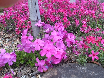 むらさき、きいろ、ピンクの花_e0289203_22123967.jpg