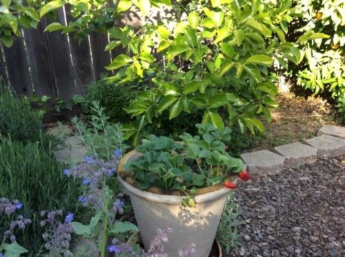 トマトを植えました_a0331910_12414023.jpg