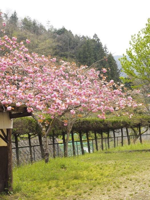 駐車場の八重桜_c0116915_0173064.jpg