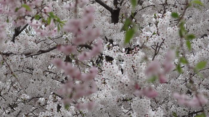 春爛漫_b0290816_17524146.jpg
