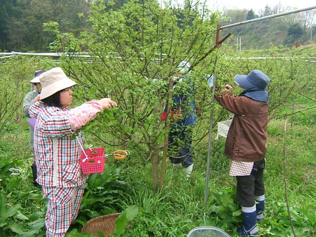 花山椒収穫_c0220321_16375693.jpg