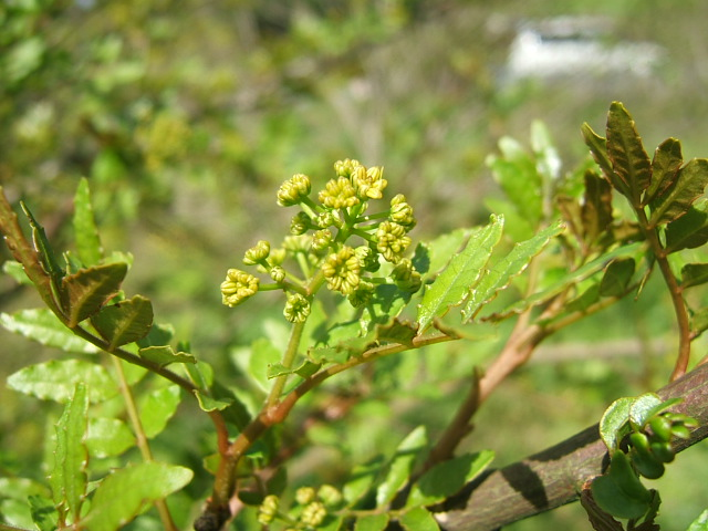 花山椒収穫_c0220321_16432562.jpg