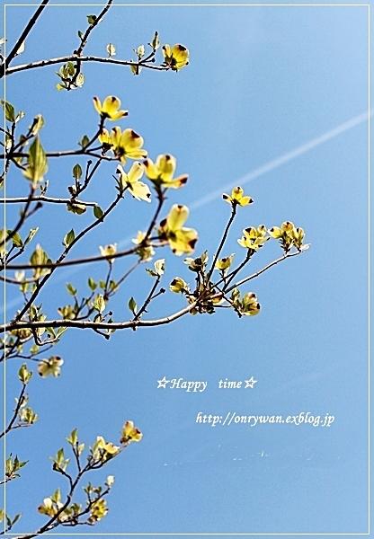 筍豚肉きつね春キャベの甘辛炒め弁当と花水木♪_f0348032_18471524.jpg