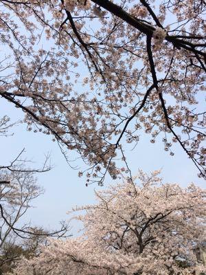 花見とチューリップ_e0163255_816295.jpg