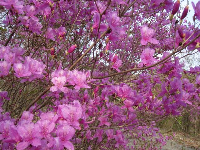 桜、染井吉野 陽光も終わり_f0085369_10553417.jpg