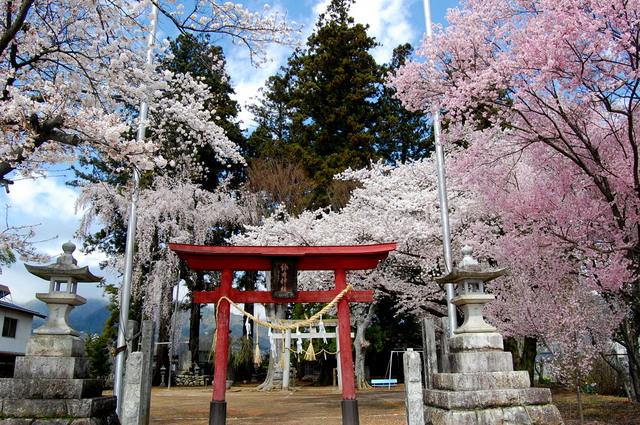桜_d0172270_11515047.jpg