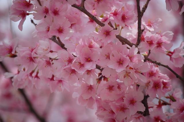 桜_d0172270_11571172.jpg