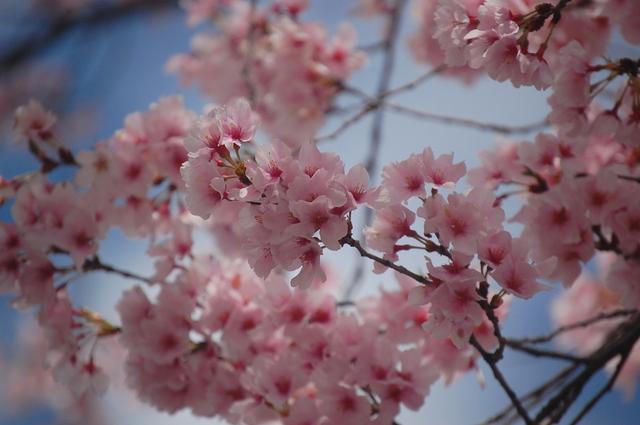 桜_d0172270_11571693.jpg