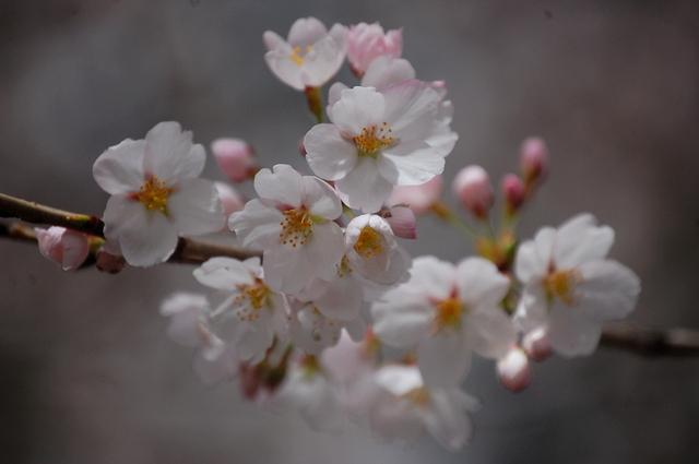 桜_d0172270_11573735.jpg