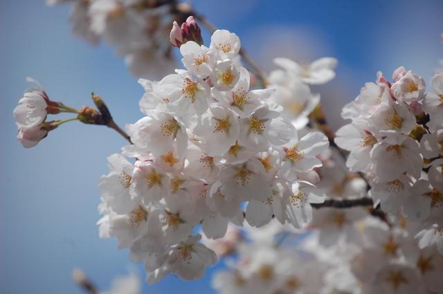 桜_d0172270_11574873.jpg
