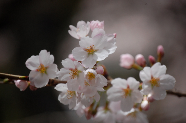 桜_d0172270_11584723.jpg