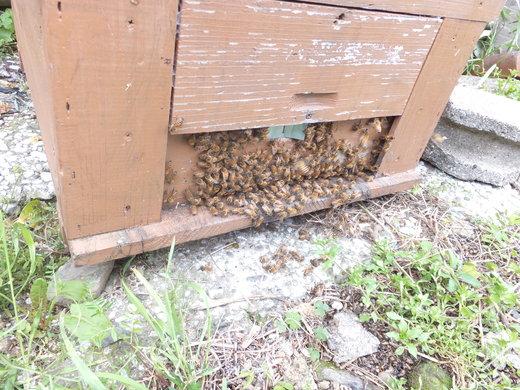 ミツバチの春の準備_d0251679_139164.jpg
