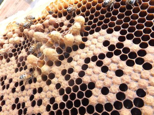 ミツバチの春の準備_d0251679_139456.jpg