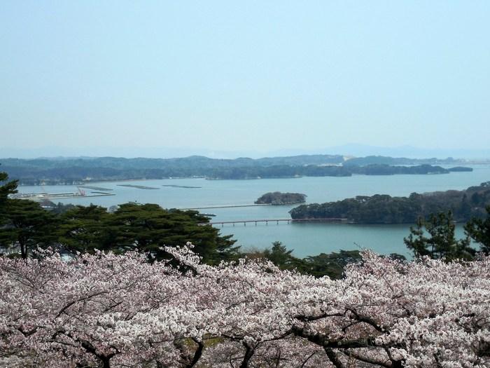 桜満開の西行戻しの松公園_d0116009_1444579.jpg