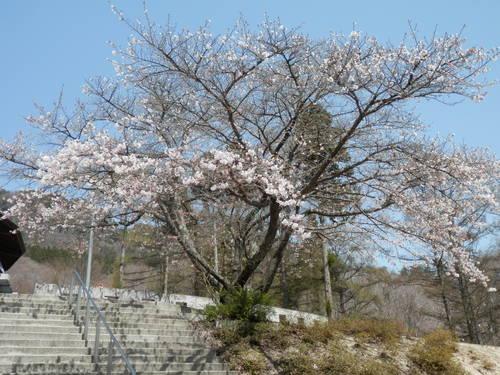 桜情報_f0296936_124923100.jpg