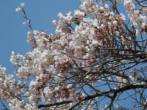 桜情報_f0296936_1252393.jpg