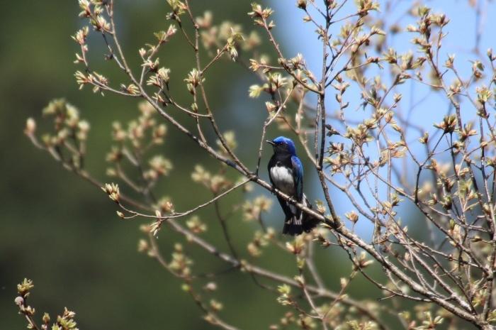 2015.4.18 梢で囀る鳥たち・早戸川林道・オオルリ(Birds sing at a treetop)_c0269342_17473920.jpg