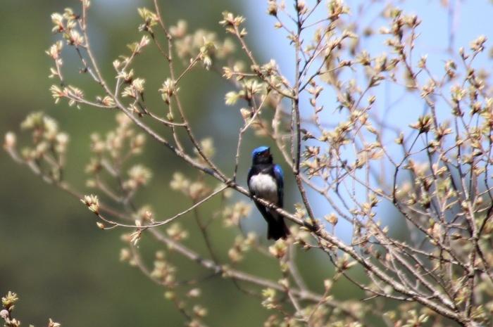 2015.4.18 梢で囀る鳥たち・早戸川林道・オオルリ(Birds sing at a treetop)_c0269342_17475755.jpg