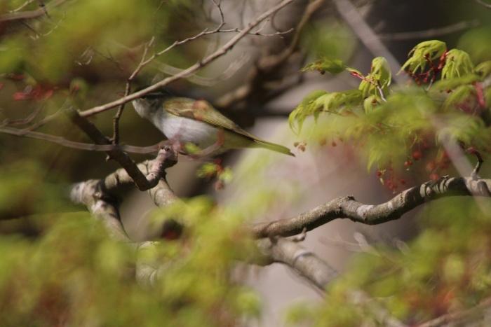 2015.4.18 梢で囀る鳥たち・早戸川林道・オオルリ(Birds sing at a treetop)_c0269342_17500135.jpg