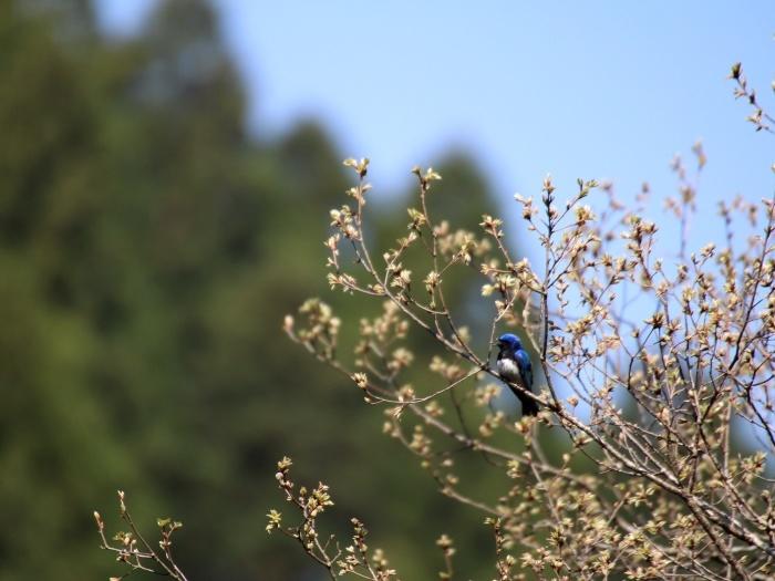 2015.4.18 梢で囀る鳥たち・早戸川林道・オオルリ(Birds sing at a treetop)_c0269342_19044711.jpg