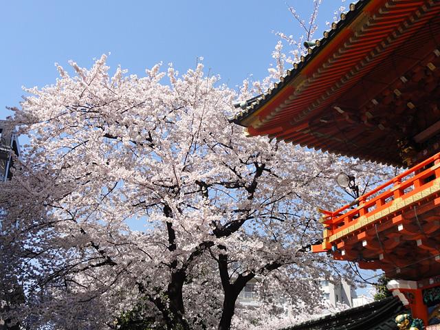 神田明神の桜 (2015/3/31 ~ 4/2)_b0006870_1933745.jpg