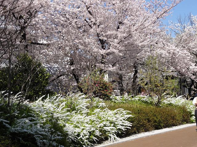 神田明神の桜 (2015/3/31 ~ 4/2)_b0006870_19343449.jpg