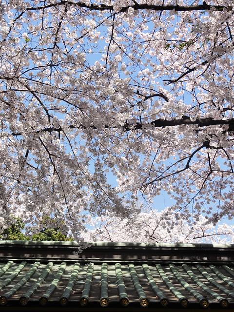 神田明神の桜 (2015/3/31 ~ 4/2)_b0006870_1934860.jpg
