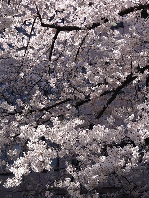 神田明神の桜 (2015/3/31 ~ 4/2)_b0006870_19351012.jpg