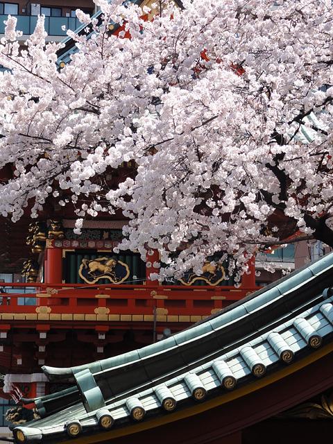 神田明神の桜 (2015/3/31 ~ 4/2)_b0006870_19353264.jpg