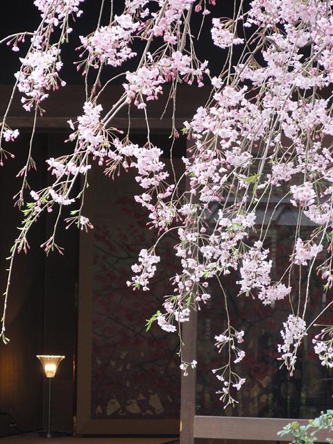 神田明神の桜 (2015/3/31 ~ 4/2)_b0006870_19363432.jpg