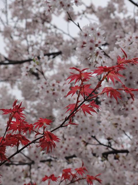 神田明神の桜 (2015/3/31 ~ 4/2)_b0006870_19365169.jpg